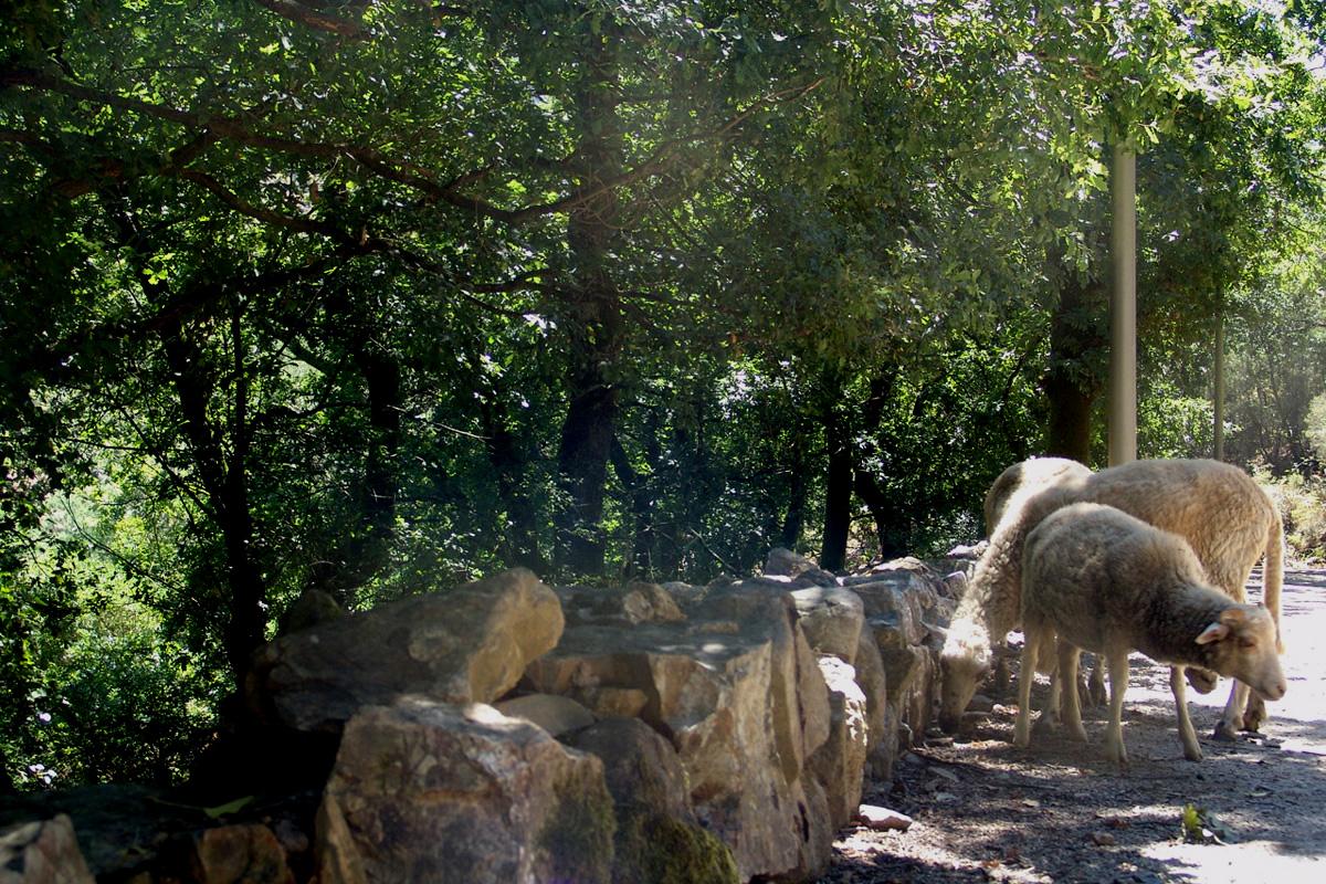 Pastorícia na aldeia de Couce